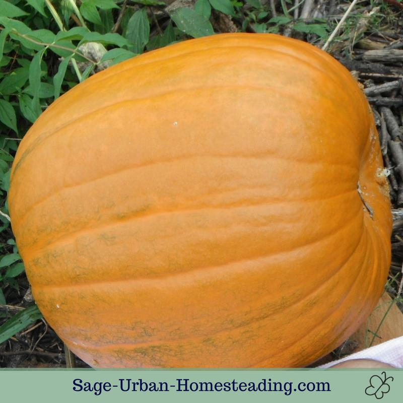 homegrown pumpkin
