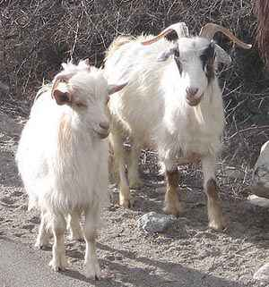 Cashmere Yarn From Goats
