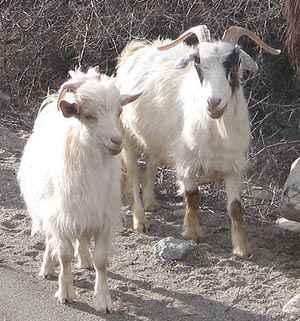 Pashmina cashmere goats