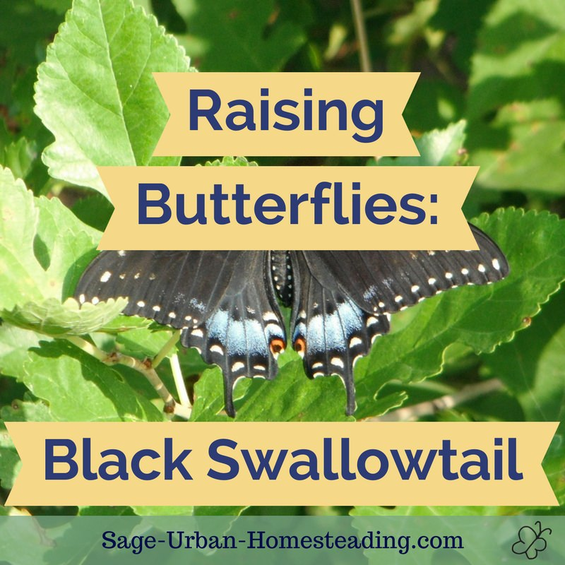 raising butterflies: black swallowtail