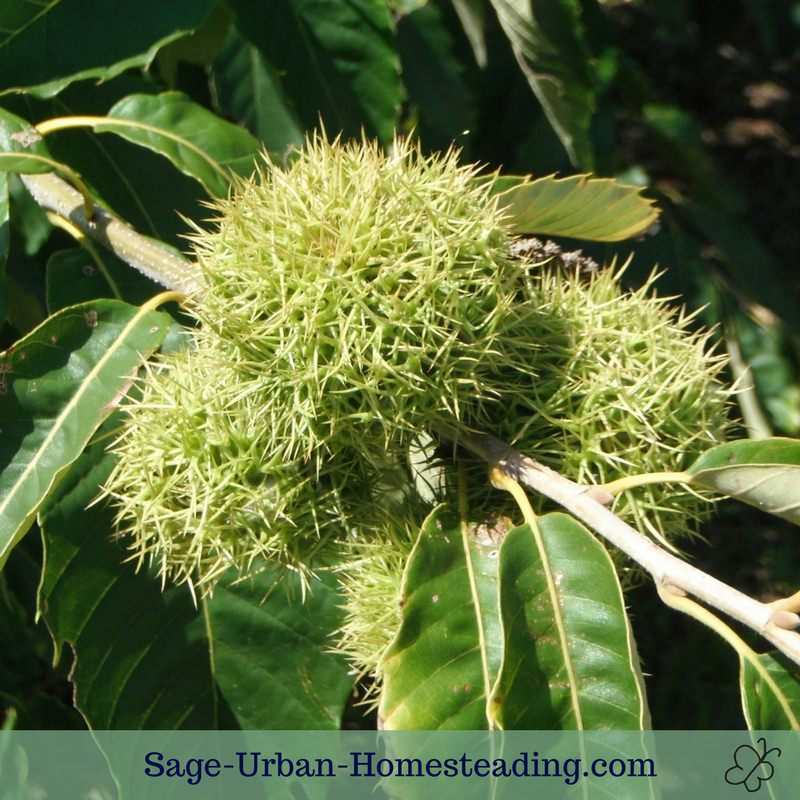 prickly chestnut tree
